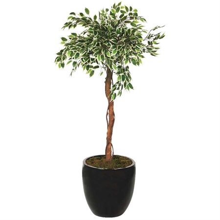 Ficus sauvage oriental